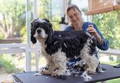 Grooming The Back Of The American Cocker Spaniel Dog By Electric Hair Cutting Machine. Dog Is Standi poster