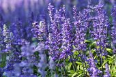 Blue Salvia Flower. Purple Flower And Green Leaf In Garden. Flower At Sunny Summer Or Spring Day. Fl poster