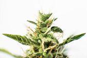 Medicinal Marijuana Cbd Thc. Bud Cannabis Before Harvest. Macro Shot With Sugar Trichomes. Concepts  poster