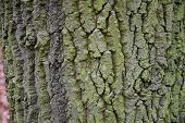 Green Gray Wood Bark Texture With Deep Cracks. Rough Texture Of Aged Tree Bark Closeup. Weathered Wo poster