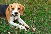 Beagle Dog Outdoors. Portrait Of A Cute, Tricky Beagle poster