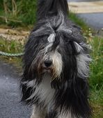 Furry Bearded Collie Walking Along On A Leash. poster