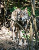 The Wolf, Canis Lupus, Also Known As The Grey Wolf Or Timber Wolf Is A Canine Native To The Wilderne poster