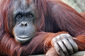 stock photo of orangutan  - Closeup portrait of a resting mama orangutang - JPG