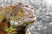 stock photo of godzilla  - Iguana close up at day with green gtass background - JPG