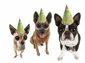 picture of dog birthday  - a boston terrier puppy and two chihuahuas with big eyes - JPG