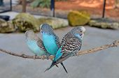 Three Blue Budgerigars