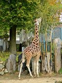 Giraffe At Riga Zoological Garden