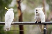 stock photo of cockatoos  - Australian Sulphur - JPG