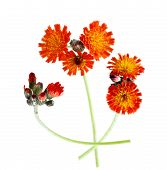 pic of collier  - Orange Hawkweed  - JPG