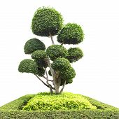 pic of bonsai  - bonsai tree in garden isolated on white - JPG