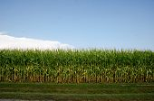 picture of corn stalk  - Cornfield and corn stalks shortly before maturity and harvest in an Illinois field - JPG