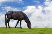 stock photo of horses eating  - Black Horse eating grass On Sky Background - JPG
