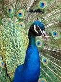 picture of indian peafowl  - The Indian Peafowl or Blue Peafowl is a large and brightly coloured bird of the pheasant family native to South Asia - JPG