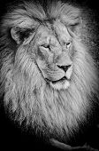 Old Lion Bw