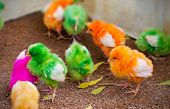 stock photo of baby chick  - chicken multi colored,  Baby chick in India