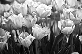 stock photo of angiosperms  - Tulips in spring close up black and white - JPG