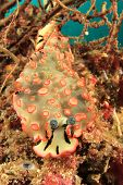 stock photo of slug  - Nudibranch Sea Slug - JPG
