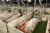 stock photo of pig-breeding  - Pork plant with very large pigs in special stalls - JPG