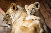 image of female buffalo  - African lion cub resting on his mother lioness - JPG