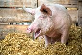 stock photo of stall  - Pig on hay and straw at pig breeding farm - JPG