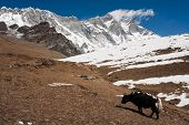 pic of yaks  - Single Yak pasture enviroment in Hymalaya - JPG