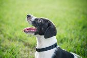 picture of puppy eyes  - Black and white puppy standing outside in the grass - JPG