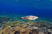 foto of hawksbill turtle  - Hawksbill turtle swimming underwater among the coral reef - JPG
