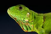 foto of giant lizard  - The Green iguana is a huge vegetarian lizard species found in Central and South America.