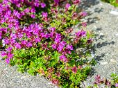 stock photo of creeping  - Plants of Creeping Thyme with purple flowers in garden in summer - JPG