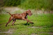 foto of bulls  - chocolate american pit bull terrier puppy outdoors - JPG