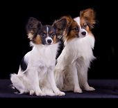 picture of epagneul  - Two dogs of breed papillon on a black background - JPG