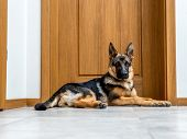 picture of alsatian  - Five month German Shepherd puppy waiting by the doors - JPG