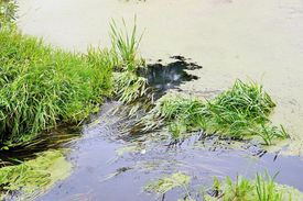 pic of boggy  - pond with a boggy surface and a green sedge and a duckweed - JPG