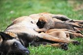 image of belgian shepherd  - female dog of belgian shepherds malinois with puppies - JPG