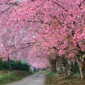 pic of sakura  - pink sakura blossoms on  road in thailand - JPG