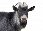 foto of billy goat  - Portrait of black goat on a white background - JPG