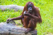 foto of orangutan  - Orangutan adult in the Sumatra island - JPG