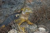 image of ugly  - Charles Darwin described the Galapagos land iguana as ugly animals - JPG