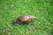 stock photo of mollusca  - A single giant african land snail in grass - JPG
