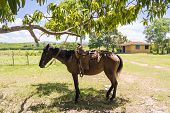 picture of saddle-horse  - Horse with saddle tied to a mango tree in a Cuban farm - JPG