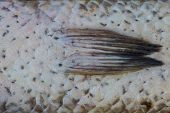 image of fresh water fish  - Scales of fresh water fish close up - JPG