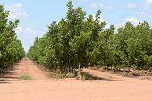 stock photo of row trees  - rows of walnut trees on a rural plantation - JPG