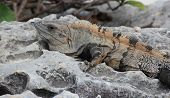 stock photo of yucatan  - Iguana resting on limestone rocks in tropical Yucatan - JPG