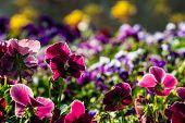 pic of violet flower  - color pancy flower in flower festival at chiangrai - JPG