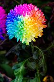 image of transpiration  - Colorful of rainbow Chrysanthemum flower on black background - JPG