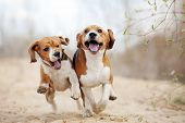 stock photo of hound dog  - Two funny beagle dogs running in spring together - JPG