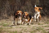 stock photo of hound dog  - funny beagle dogs running together in spring - JPG