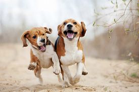 foto of little puppy  - Two funny beagle dogs running in spring together - JPG