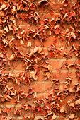 picture of ivy  - Red brick wall background with dry withered ivy leaves plants - JPG